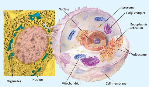 Welcome to mrs lee browns science class tina robertson objective how do plant and animal cell organelles work ccuart Image collections